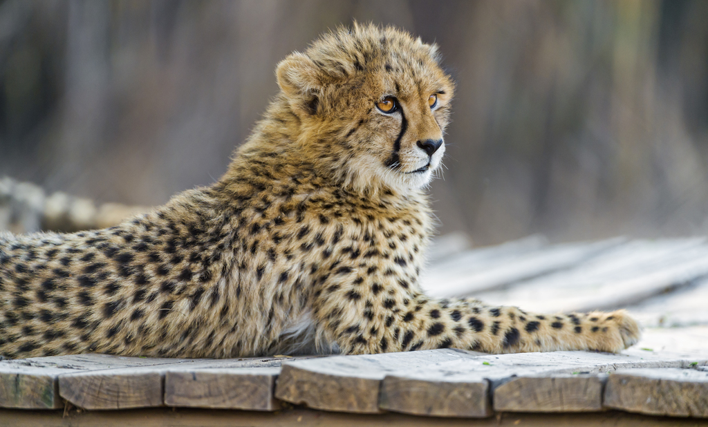 Cheetah Cub on the Platform - Tambako The Jaguar