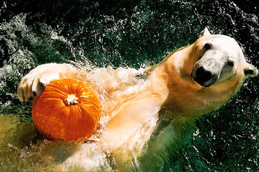 Whats the matter? You've never seen a Polar Bear with a pumpkin?